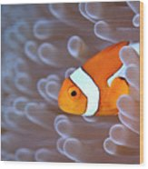 Clownfish In White Anemone Wood Print