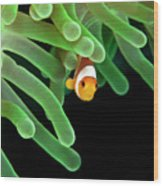 Clownfish On Green Anemone Wood Print by Alastair Pollock Photography