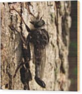 Club Tailed Robber Fly Wood Print