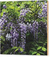 Clusters Of Wisteria Wood Print