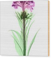 Cockscombs Flower, X-ray Wood Print
