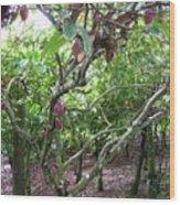 Cocoa Tree With Ripe Cocoa Pods Wood Print