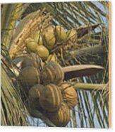 Coconuts Cluster At Los Tules Resort Wood Print