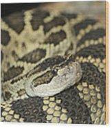 Coiled Rattlesnake Wood Print