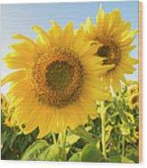 Colby Farms Sunflower Field Closeup Wood Print