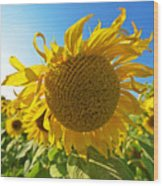 Colby Farms Sunflower Field Newbury Ma Ball Of Fire Wood Print
