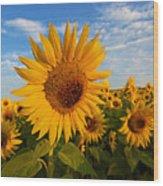 Colby Farms Sunflower Field Newbury Ma Sunrise Wood Print