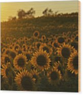 Colby Farms Sunflower Field Newbury Ma Sunset Wood Print