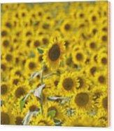 Colby Farms Sunflower Field Newbury Ma Wood Print