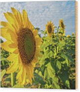 Colby Farms Sunflower Field Side Wood Print
