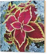 Coleus And Dusty Miller Wood Print