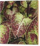 Coleus Plant Wood Print