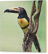Collared Aracari Pteroglossus Wood Print