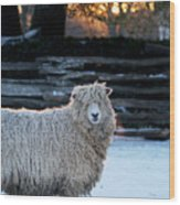 Colonial Sheep In Winter Wood Print