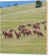 Colorado Elk Herd Wood Print