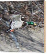 Colorado Mallard In Flight Wood Print