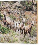Colorado Mountain Sheep Wood Print