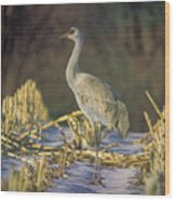 Colorado Sandhill Crane  Wood Print