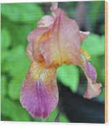 Colored Iris  Wood Print