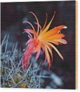 Colorful Cactus Flower Wood Print