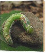 Colorful Caterpillar  Wood Print