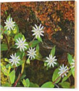 Colorful Chickweed Wood Print