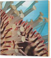 Colorful Crown Of Thorns Starfish Wood Print