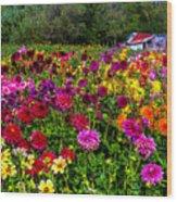 Colorful Dahlias In Garden Wood Print