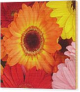 Colorful Gerber Daisies Wood Print