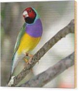 Colorful Gouldian Finch Wood Print
