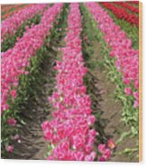 Colorful Rows Of Tulips Wood Print