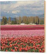 Colorful Skagit Valley Tulip Fields Panorama Wood Print