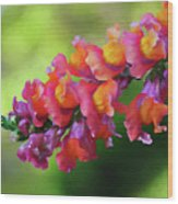 Colorful Snapdragon Wood Print