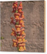 Colorful Snapdragons Wood Print