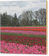 Colorful Tulips Blooming At Tulip Festival Wood Print
