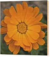 Colourful Orange Signet Marigold  Wood Print