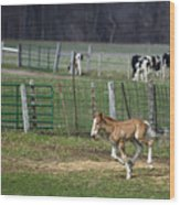 Colt Play With Hay Wood Print