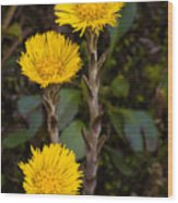 Coltsfoot Trio Wood Print