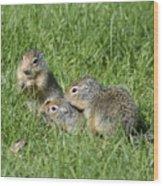 Columbian Ground Squirrels Wood Print