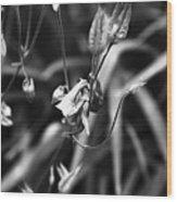 Columbine Flower 2 Black And White Wood Print