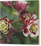 Columbine In Spring Wood Print