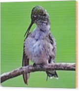 Combing His Feathers - Ruby-throated Hummingbird Wood Print