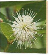 Common Buttonbush Wood Print
