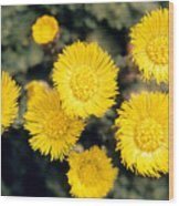 Common Coltsfoot  Wood Print