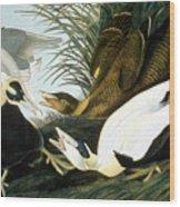 Common Eider, Eider Duck Wood Print