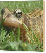 Common Frog Rana Temporaria Wood Print