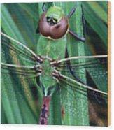 Common Green Darner Wood Print