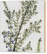 Common Juniper Alchemy Plant Wood Print