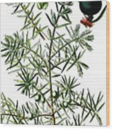common juniper, Juniperus communis Wood Print