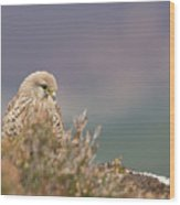 Common Kestrel Falco Tinnuculus Perched On Rock Wood Print
